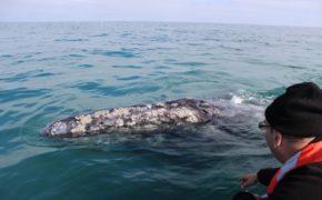Inicia avistamiento de ballena gris en Comondú y Mulegé