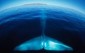 """Coronavirus también afecta a la """"ballena azul"""";se suspende festival en Loreto"""