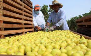 Ocupa BCS segundo lugar en México en generación de empleos en sector agrícola