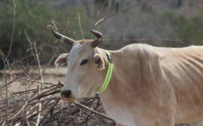 """Con cinturones fluorescentes en el ganado buscan frenar """"vacazos"""" en carretera federal"""